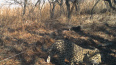 Котенок дальневосточного леопарда спасся от лесного ...