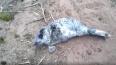 В лесу у Финского залива нашли ослабшего и поклеванного ...