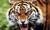 Тигр напал на ребенка в зоопарке Благовещенска