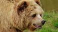 В Иркутской области дикий медведь напал на женщину ...