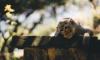В зоопарк привезли самца редкой обезьяны и разыгрывают шоу «Холостяк»