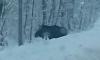 Любопытный лось смущает водителей на выезде из Орехово