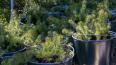В Выборге прошли работы по восстановлению лесов