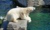 Медведи открыли купальный сезон в Петербурге