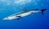 Испанские и французские пляжи временно закрывали из-за голубых акул