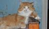 В Петербурге сдают в аренду рыжего кота Марсика, который отгоняет духов