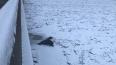 Нерпенок провел всю зиму под петербургским мостом