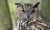 На Невском проспекте спасли истощенную сову, с которой фотографировались горожане