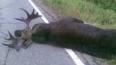 """Tahoe насмерть сбил лося на трассе """"Кола"""""""