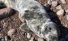 В Ленобласти спасли двух истощенных тюлених