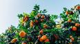 В Петербург из Аргентины привезли 42 тонны мандаринов ...