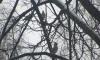 Свиристели прилетели в Петербург: скоро холода придут