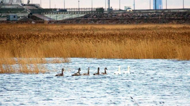 Тёплый январь вернул в Петербург стаи лебедей