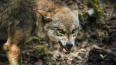 Ночью во двор к петербуржцам нагрянула дикая волчица