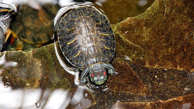 Петербуржцы массово избавляются от красноухих черепах