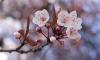 В Японии на пять дней раньше обычного начался сезон цветения сакуры