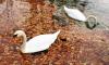 В Петербурге просят не беспокоить лебедей, которые живут у КАД и ЗСД
