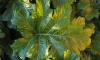 В Мурманских дворах повсеместно растут ядовитые растения