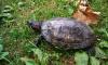 Петербуржцы ищут новый дом для красноухой черепахи из Таврического сада