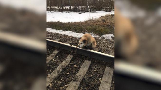 """""""Пёс свое отжил"""": привязавший собаку к рельсам петербуржец объяснил свой поступок"""