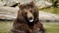 В Иркутской области суровый медведь отобрал у охотника ...