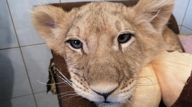 """Центр """"Велес"""" забрал на лечение молодого льва"""