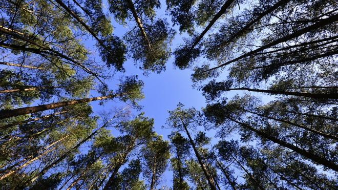 В Комарово заменят деревянный настил на экотропе