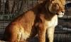 В Белгородском зоопарке львица Анфиса задушила пьяного посетителя, забравшегося к ней в вольер