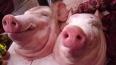 К петербургской мечети подкинули свиную голову и муляж б...
