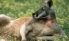 В Чехии кенгуру утащил из магазина копченую курицу, спрятав ее в сумке