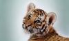 Годовалый тигренок погиб в Приморье после выстрела браконьера