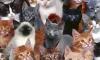 В Петербурге появилась музейная «Республика кошек»