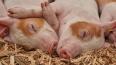 Из Лужского района запретили вывозить свиней