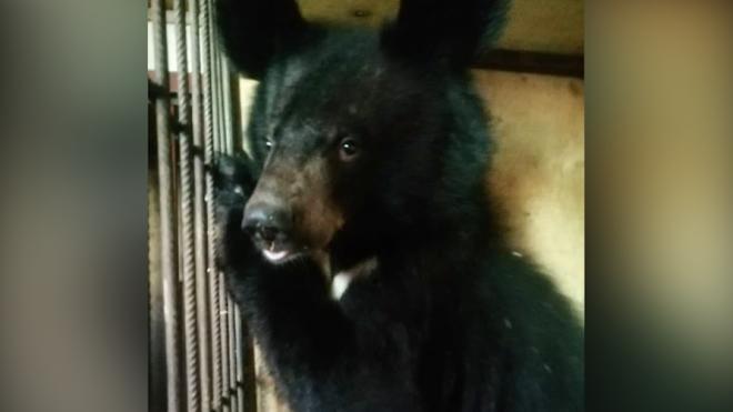 """""""Велес"""" собирает средства на выкуп двух медведей из закрывшегося цирка-шапито"""
