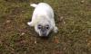 В Кингисеппе нашли заплутавшего в лесу тюлененка