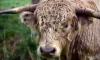 В Волховском районе пенсионера забодал бык
