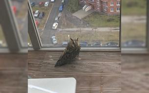 В одну из лоджий Петербурга залетела сова