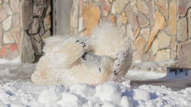 Медведица Хаарчаана из Ленинградского зоопарка радуется морозам и снегу