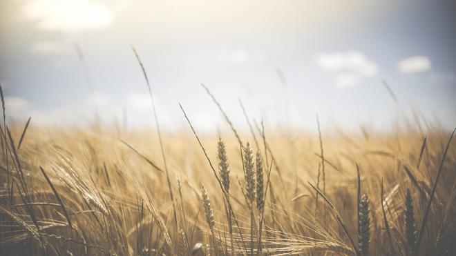 Аграрии Выборга завершили сбор урожая и заготовку кормов