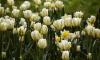 Знаменитый Фестиваль тюльпанов на Елагином острове перешел в онлайн