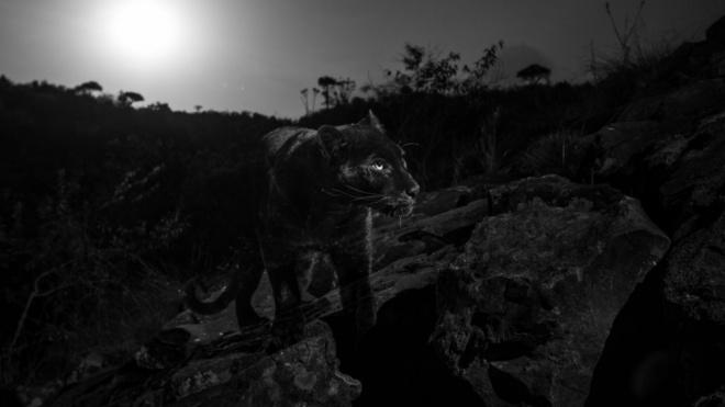 В Кении впервые за 100 лет удалось сфотографировать редкого чёрного леопарда
