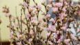 Японцы подарили Эрмитажу морозоустойчивую сакуру