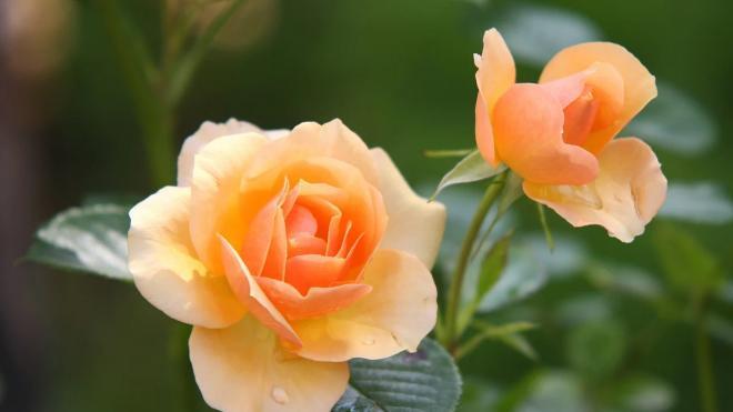 В Луге посадили около 1500 розовых кустов
