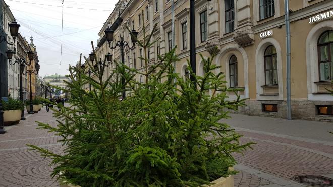 Перед Новым годом в Петербурге появятся более 4000 елок в вазонах