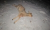 На Урале дикая косуля бросилась под колеса ВАЗа: водитель и животное погибли