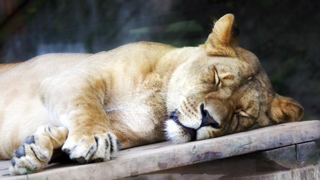 Молодая львица Нишати променяла Ленинградский зоопарк на Сибирь