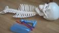 В Петербурге экскаватор случайно выкопал скелет