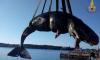 На побережье Италии нашли мертвую беременную самку кита с полным желудком пластика