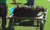 Убитый баран может лишить казахстанский Шахтер Лиги чемпионов