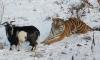 Тигр Амур чуть не съел козла Тимура: животное ранено